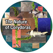The Nature of Corydoras